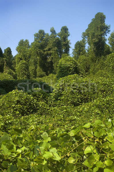 Kudzu Stock photo © tmainiero
