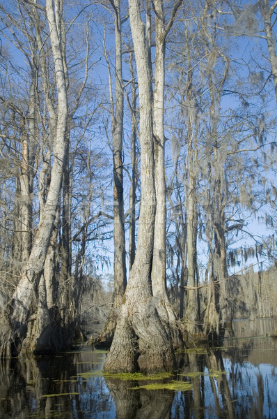 Cypress Swamp Stock photo © tmainiero