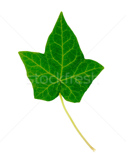 English Ivy Leaf Stock photo © tmainiero