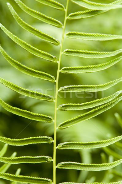 Genç eğreltiotu yeşil soyut doğa bahçe Stok fotoğraf © tmainiero