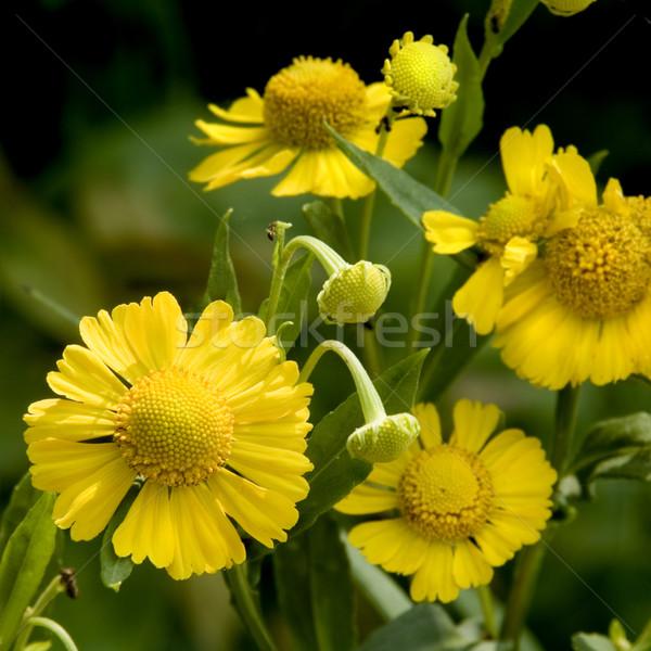活気のある 黄色の花 黄色 デイジーチェーン 花 太陽 ストックフォト © tmainiero