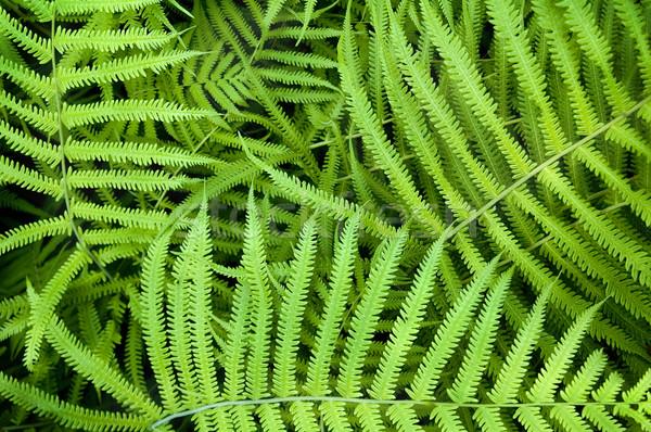Dynamique fougère dynamique vert texture printemps Photo stock © tmainiero