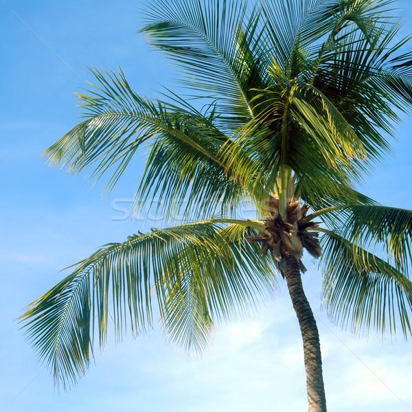 Palmier ciel soleil été Palm bleu Photo stock © tmainiero