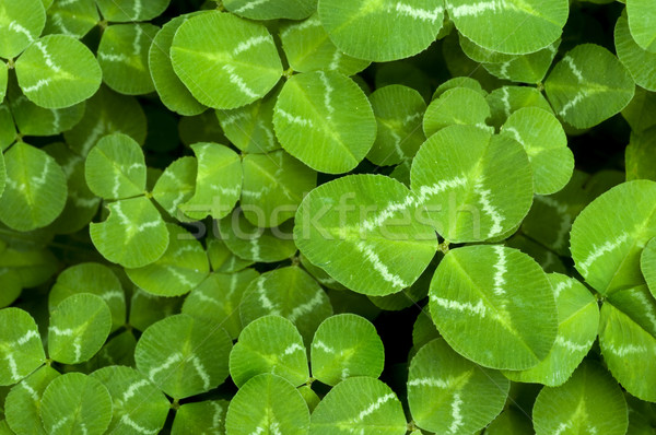 Clover Stock photo © tmainiero