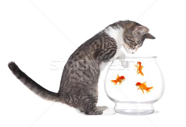 Kotek oglądania ryb pływać łapy akwarium Zdjęcia stock © tobkatrina