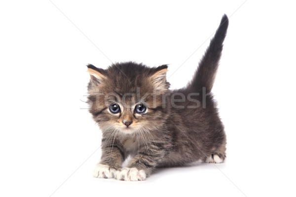 Cute Tiny Kitten on a White Background Stock photo © tobkatrina