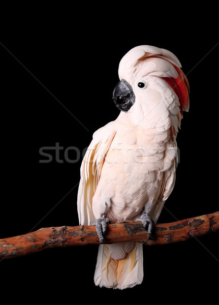 Beautiful Moluccan Cockatoo Sitting Peacefully on His Perch Stock photo © tobkatrina