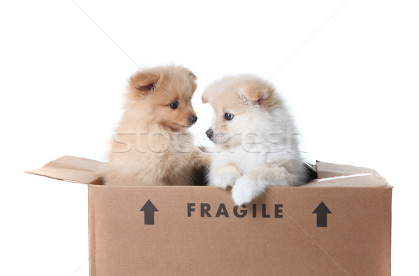 Pomeranian Puppies Inside a Cardboard Box Stock photo © tobkatrina