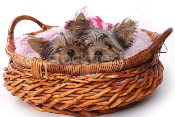 ヨークシャー テリア 子犬 アップ ピンク かわいい ストックフォト © tobkatrina