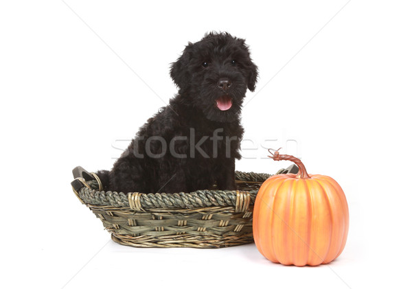 Stock photo: Little Black Russian Terrier Puppy on White Background