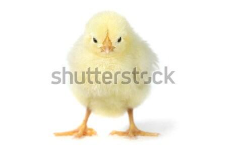 愛らしい 赤ちゃん ひよこ 鶏 白 かわいい ストックフォト © tobkatrina