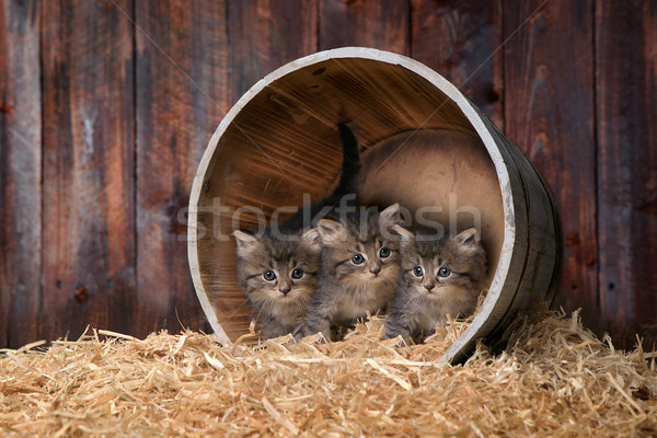 Cute Adorable Kittens in a Barn Setting With Hay Stock photo © tobkatrina