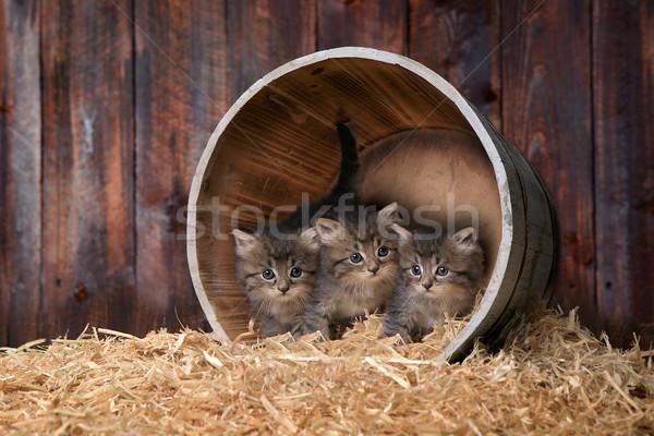 Aranyos imádnivaló kiscicák csőr széna baba Stock fotó © tobkatrina