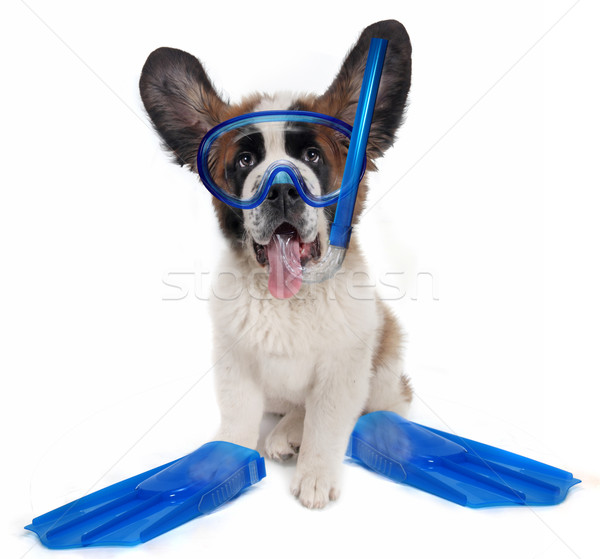 Saint Bernard puppy dog wearing snorkeling gear Stock photo © tobkatrina