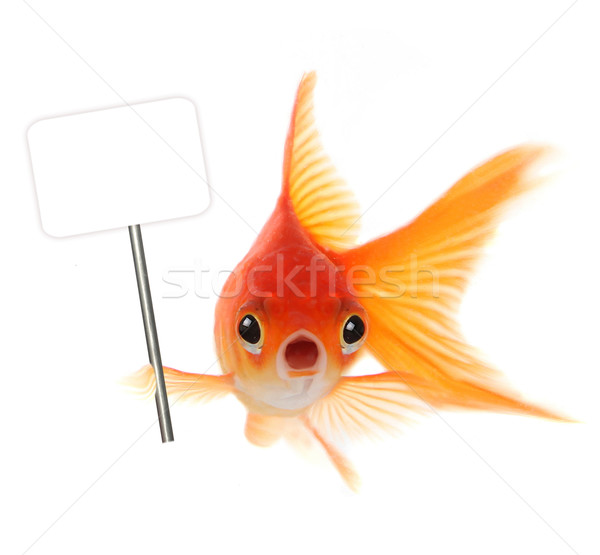 Shocked Goldfish Isolated on White Background Stock photo © tobkatrina