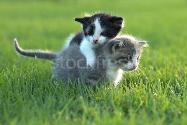子猫 屋外 自然光 かわいい 緑 ストックフォト © tobkatrina