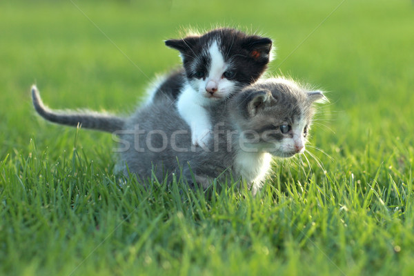 Kittens Outdoors in Natural Light Stock photo © tobkatrina