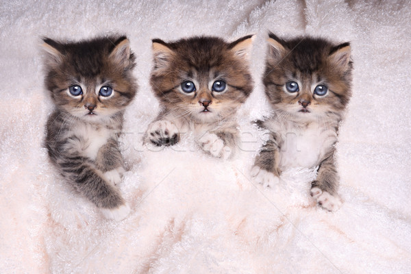 Kittens Lying in Bed With Blanket Stock photo © tobkatrina