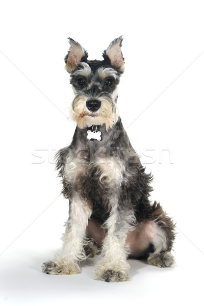 Cute Miniature Schnauzer Puppy Dog on White Background Stock photo © tobkatrina