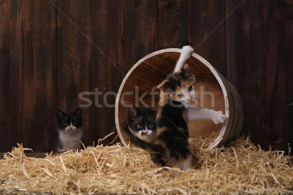 Cute adorabile gattini fienile fieno amore Foto d'archivio © tobkatrina
