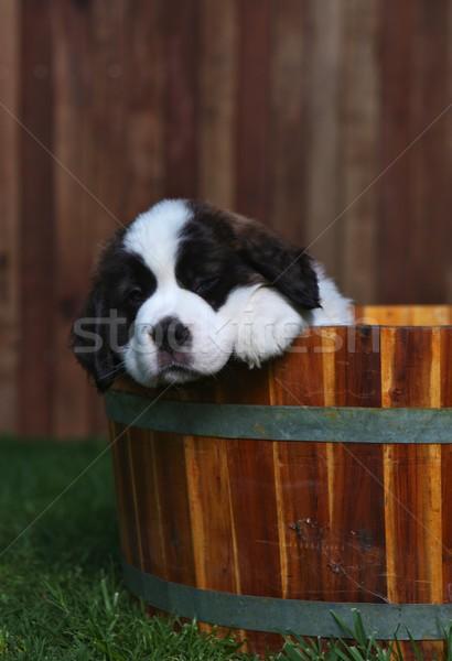 Stock photo: Adorable Saint Bernard Pups