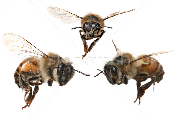 3 Different Angles of a North American Honey Bee Stock photo © tobkatrina