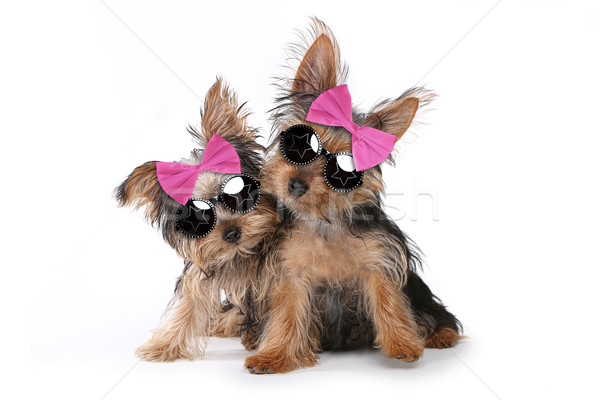 Yorkshire Terrier Puppies Dressed up in Pink Stock photo © tobkatrina