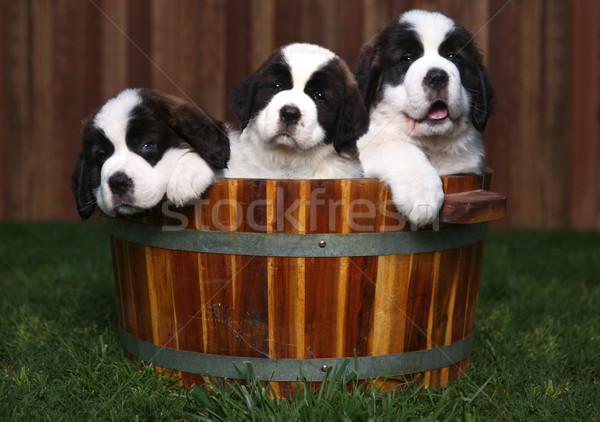 Three Adorable Saint Bernard Puppies in a Barrel  Stock photo © tobkatrina