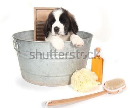 Foto stock: Cute · yorkshire · terrier · adorable · retrato