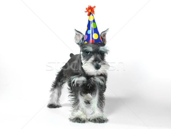 Geburtstag hat tragen Miniatur Schnauzer Welpen Stock foto © tobkatrina