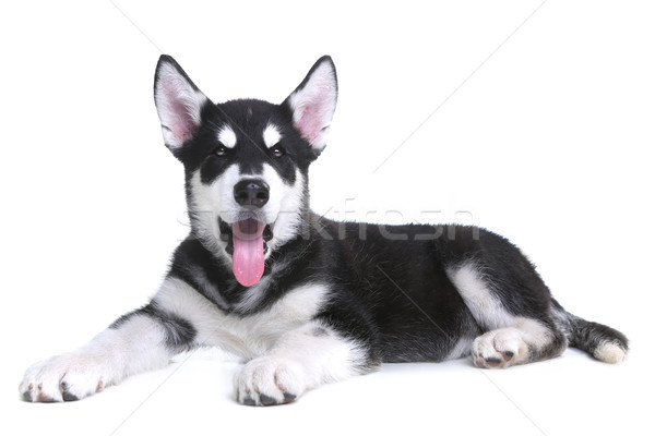 Alasca cachorro branco estúdio adorável cão Foto stock © tobkatrina