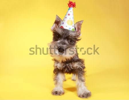 シュナウツァー 子犬 犬 かわいい 動物 ストックフォト © tobkatrina