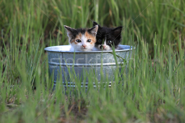 Kittens Outdoors in Tall Green Grass Stock photo © tobkatrina