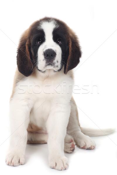 Sweet Puppy Saint Bernard on a White Background Stock photo © tobkatrina