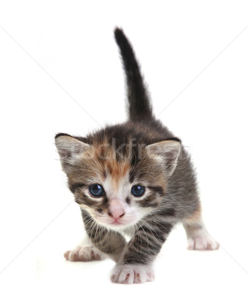 Stock photo: Baby Cute Kitten on a White Background