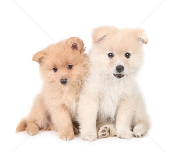Feliz cachorros junto blanco retrato Foto stock © tobkatrina