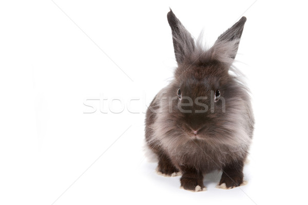 One Bunny Rabbit on White Background Stock photo © tobkatrina
