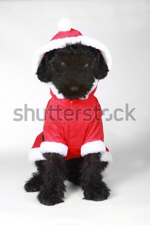Stock photo: Wiped Out Black Russian Terrier Puppy in Santa Suit
