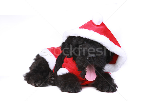 Cute Black Russian Terrier Puppy Dog as Santa on White Backgroun Stock photo © tobkatrina
