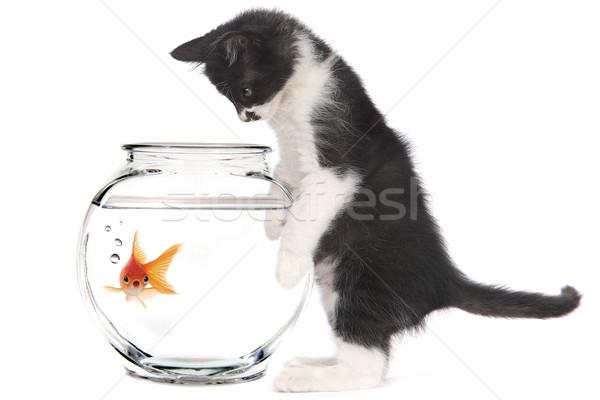 Kätzchen schauen Goldfisch Schüssel neugierig Baby Stock foto © tobkatrina