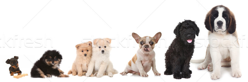 Different Breeds of Puppy Dogs on White Stock photo © tobkatrina