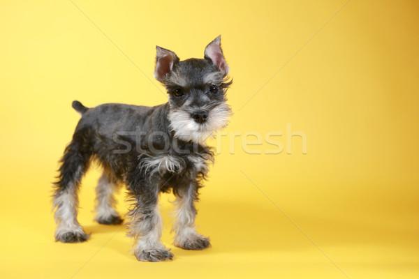 Pequeno schnauzer cachorro cão bonitinho animal Foto stock © tobkatrina