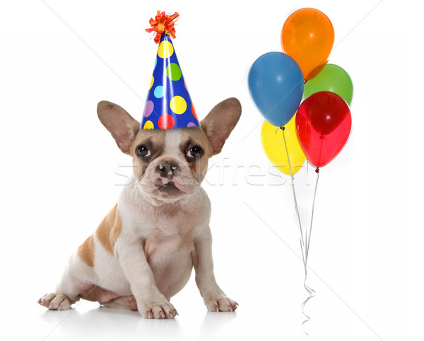 Stock photo: Dog With Birthday Party Hat and Balloons