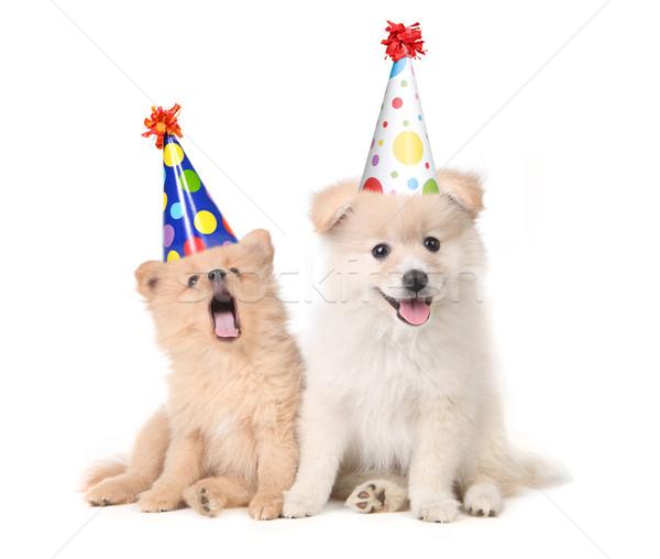 Stock Cachorros Cumpleanos Cantando Funny Blanco Perro