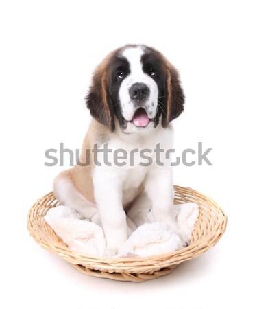 Cute Saint Bernard Puppy on White Stock photo © tobkatrina