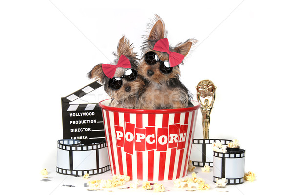Cool Yorkshire Terrier Puppies Celebrating Hollywood Movies Stock photo © tobkatrina