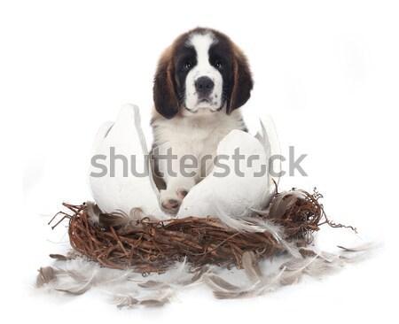 молодые святой щенков белый сидят треснувший Сток-фото © tobkatrina