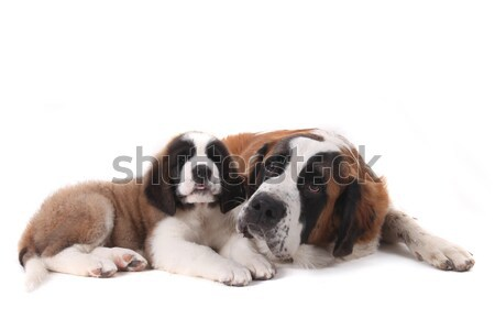 Two Loving Saint Bernard Puppies Together on a White Background Stock photo © tobkatrina