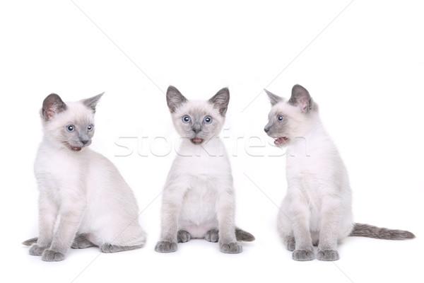 子猫 白 愛らしい 眼 顔 猫 ストックフォト © tobkatrina