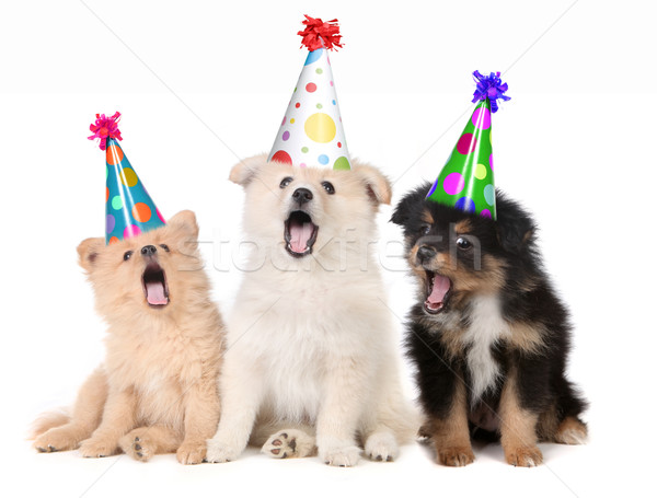 Puppies Singing Happy Birthday Song  Stock photo © tobkatrina